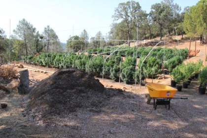 510 plants were found by deputies on the 460 block of Chinese Wall Road in Oroville. (Butte County Sheriff's Dept.)