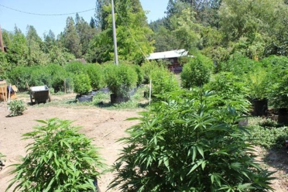 241 plants were found by deputies on the 520 block of Galen Ridge Road in Berry Creek. (Butte County Sheriff's Dept.)