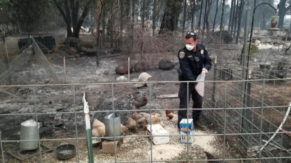 The officer fed the chickens with the food he could find. (Credit: CHP Oroville)